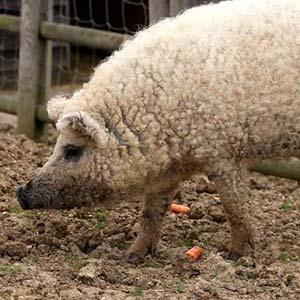 Curly Coat Pig