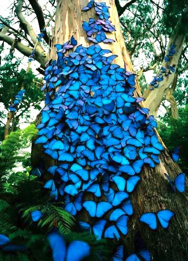 Blue Morpho Butterflies