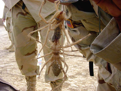 http://ww3.foundshit.com/pictures/animals/camel-spider.jpg