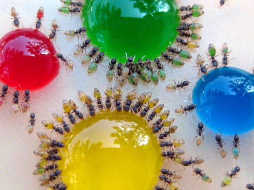 Translucent Colored Ants