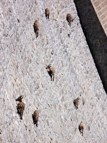 Mountain Goats On A Dam