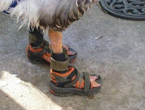 Birkenstocked Goose