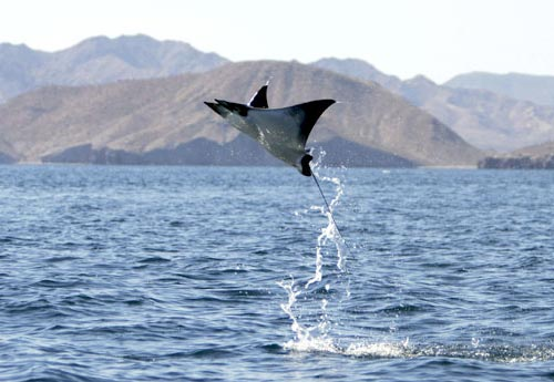Leaping Mobula Ray