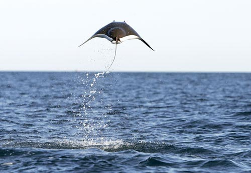 Jumping Mobula Ray