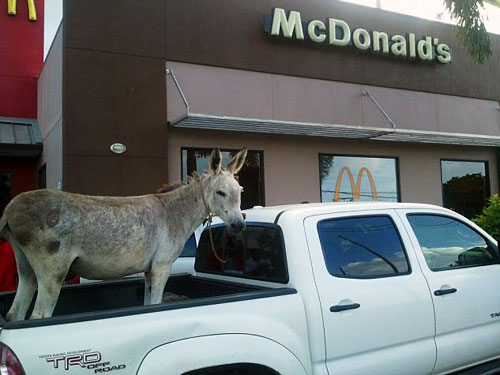 Donkey In A Pickup Truck At McDonalds