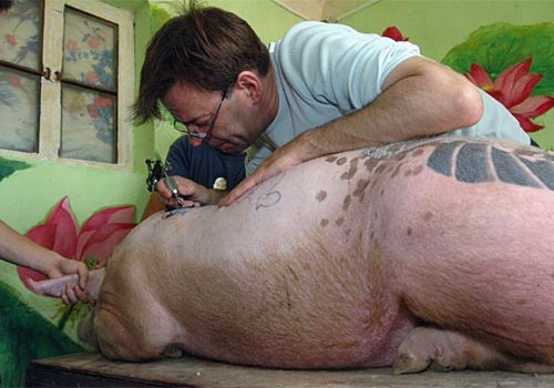 Tattooing A Pig