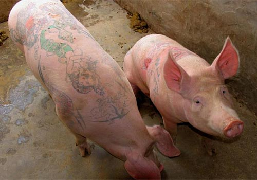 Tattooed Hogs