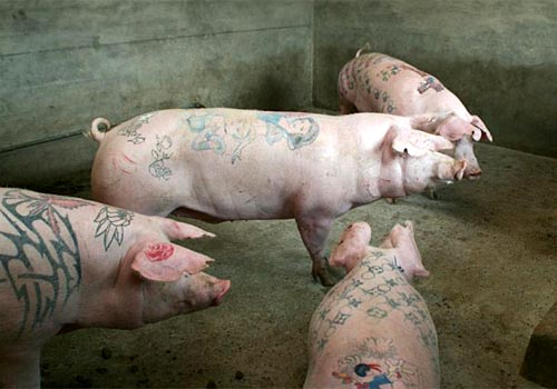 Pig Tattoos