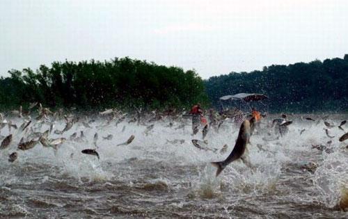 School Of Fish Jumping