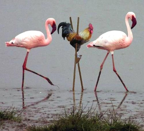 Flamingo Imposter