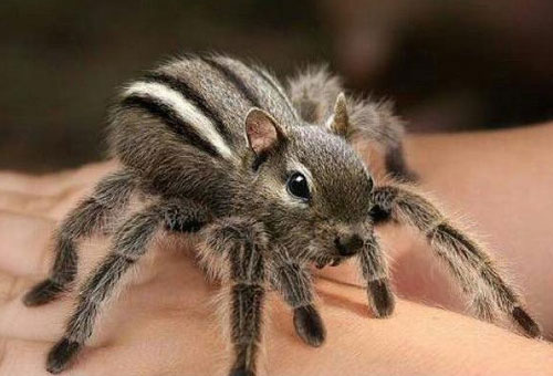 Spider Chipmunk