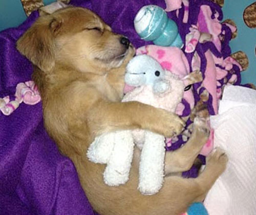 Puppy Cuddling With A Stuffed Animal