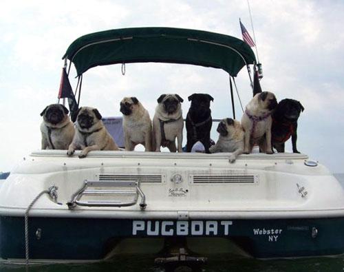 Pugs On A Boat
