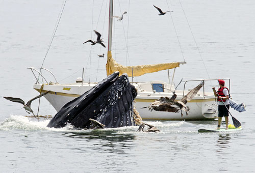 Humpback Surfacing Near A Boat